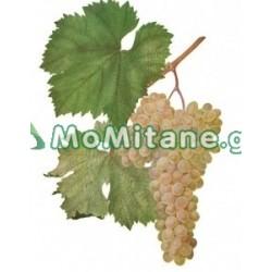 1 კგ. ყურძენი , რქაწითელი,...